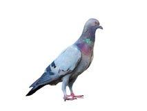 Acción de la paloma derecha aislada Imagen de archivo