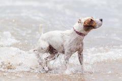 Acción de la velocidad del perro Imagen de archivo
