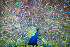 Acción de las cola-plumas de la extensión del pavo real Imagen de archivo