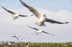 Acción de las gaviotas del vuelo en el cielo Imagen de archivo libre de regalías