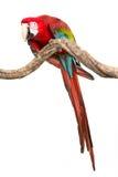Acción de los pájaros del macaw del escarlata en la rama del árbol Imagen de archivo libre de regalías