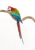 Acción de los pájaros del macaw del escarlata en la rama del árbol Fotos de archivo