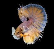 Acción de los pescados amarillos de Betta Imagen de archivo