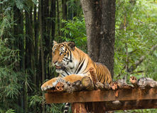 Acción de relajación del tigre en naturaleza Fotos de archivo libres de regalías