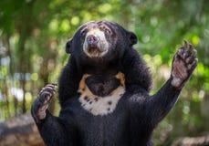 Acción del oso malayo del sol Fotos de archivo libres de regalías