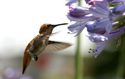 Acción del pájaro del tarareo Imagen de archivo libre de regalías