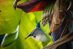 Acción del pájaro, Sunbird Imágenes de archivo libres de regalías