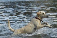 Acción del perro perdiguero de oro en agua Imagen de archivo libre de regalías