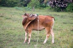 Acción del prado de Bull Foto de archivo libre de regalías