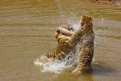 Acción del tigre del agua Fotos de archivo libres de regalías