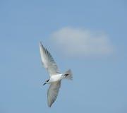 Acción del vuelo de la gaviota Imagen de archivo libre de regalías