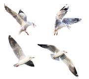 Acción del vuelo de la gaviota Imagen de archivo