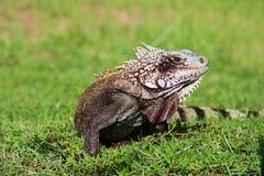Acción-iguana Imagen de archivo libre de regalías