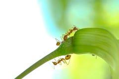 Acción macra de hormigas, insecto, naturaleza de la imagen Fotos de archivo libres de regalías