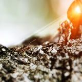 Acción macra de hormigas, insecto, naturaleza, hormiga roja, Weaver Ants de la imagen Imagen de archivo