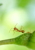 Acción macra de la hormiga, situación de la imagen de la hormiga Fotografía de archivo libre de regalías
