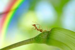 Acción macra de la hormiga, situación de la imagen de la hormiga Foto de archivo