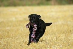 Acción negra de Labrador Foto de archivo libre de regalías