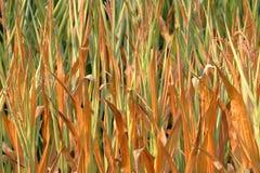 Acción vertical cercana del maíz Imagen de archivo libre de regalías