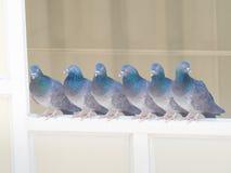 acciones de la paloma en fondo del edificio Imagenes de archivo