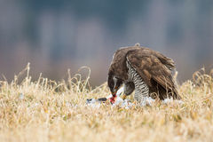 Accipiter Royalty Free Stock Photography