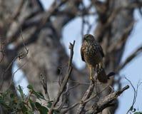 Accipiter agarrado de Sparrowhawk Fotografía de archivo