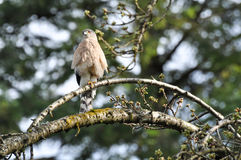 Accipiter Cooperii. A cooper's hawk sitting on a branch Royalty Free Stock Image