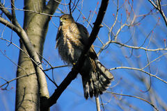 Accipiter Cooperii Coopers Hawk Stock Photos