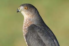 Accipiter Cooperii del falco dei bottai Immagine Stock Libera da Diritti
