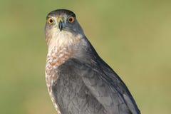 Accipiter Cooperii del falco dei bottai Immagini Stock