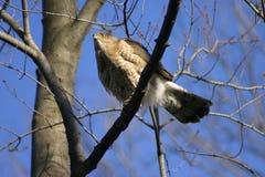 Accipiter Cooperii do falcão dos tanoeiros Imagem de Stock