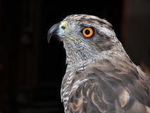 Accipiter gentilis, Goshawk royalty free stock photo