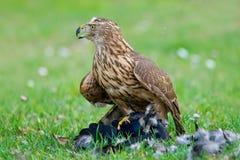 Accipiter gentilis hawk Royalty Free Stock Photos