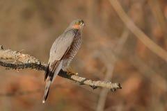 Accipiter nisus Stock Photo