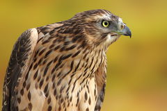 Accipiter nisus over out of focus background Royalty Free Stock Photo