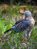 Accipiter nisus, Sparrowhawk Stock Photos