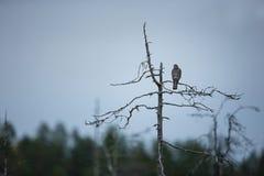 Accipiter nisus Sparrowhawk ist ein schlanker Raubvogel mit kurzen breiten Flügeln Stockfotografie