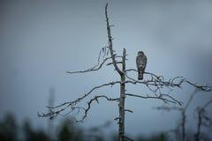 Accipiter nisus Sparrowhawk jest nikłym ptakiem drapieżnym z krótkimi szerokimi skrzydłami zdjęcia royalty free