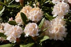 Acclamazione di Natale del rododendro Fotografia Stock