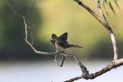 Accoccolandosi gli uccelli inghiotte la seduta su un ramo e chiede di mangiare Immagine Stock