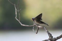 Accoccolandosi gli uccelli inghiotte la seduta su un ramo e chiede di mangiare Immagini Stock Libere da Diritti