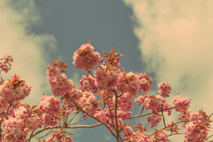 Accolade Cherry. Beautiful Accolade Cherry (Prunus Accolade ) Blossom Against Sky with Retro Effect stock photo
