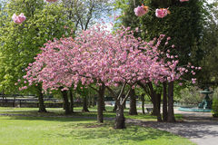 Accolade Cherry Tree. A Blossoming Accolade Cherry Tree royalty free stock image
