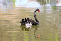 Accompanying black swan Stock Photography