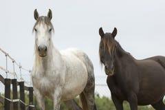 Accoppi dei cavalli che corrispondono alla foto fotografia stock libera da diritti