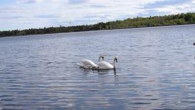 Accoppi dei cigni con i bambini dei pulcini del bambino che galleggiano sull'acqua video d archivio