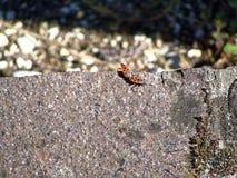Accoppi gli insetti rossi dell'insetto romanticamente collegati per la continuazione della famiglia Scarabei sul gray Immagine Stock