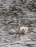 Accoppi i cigni nell'amore che galleggia sul fiume Fotografie Stock Libere da Diritti