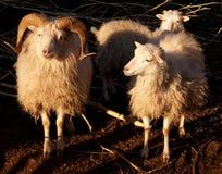 Accoppiamenti degli sheeps immagini stock