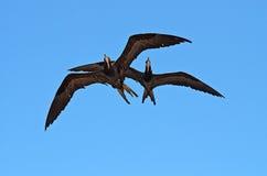 Accoppiamenti dei frigatebirds nel cielo fotografia stock libera da diritti